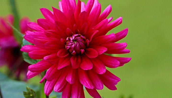 56e55dbce Dahlia Flower – Meaning, Symbolism and Colors