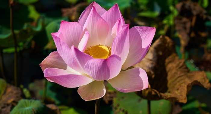 Lotus flower meaning symbolism and colors mightylinksfo