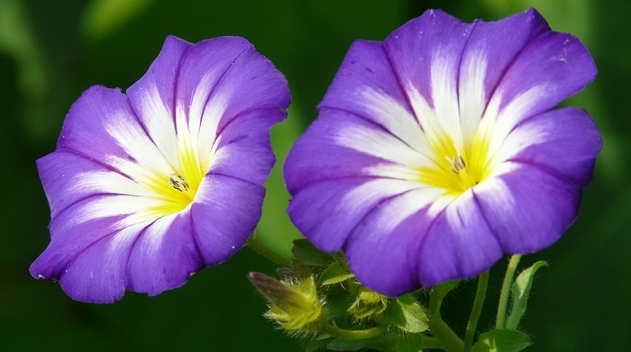 cbc751970 Flowers of the month of September are the Aster and the Morning Glory.  These two flowers look very similar and many people confuse these two.