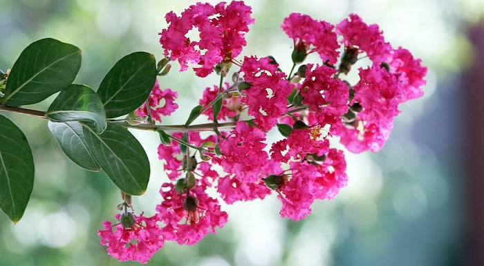 Myrtle Flower Meaning Symbolism And Colors