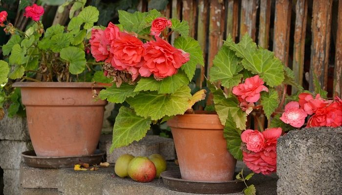 Begonia Flower Meaning Symbolism And Colors