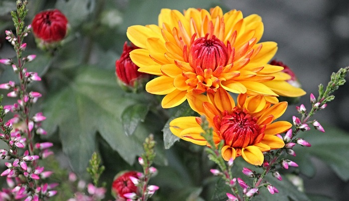 Chrysanthemum Flower Describes A Personality Which Is