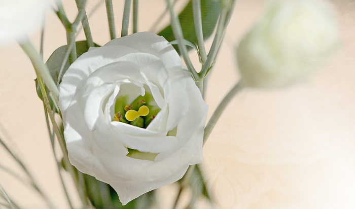 Eustoma flower meaning symbolism and colors desire for openness gift eustoma flowers to someone you want to see as a more open person this meaning also asks for opening of the heart and soul of an mightylinksfo