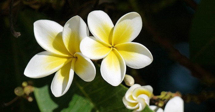 Plumeria flower meaning symbolism and colors mightylinksfo