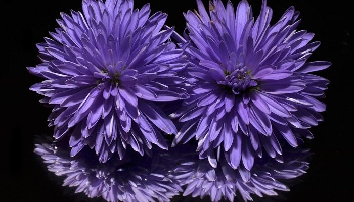 Aster Flower – Meaning, Symbolism and Colors
