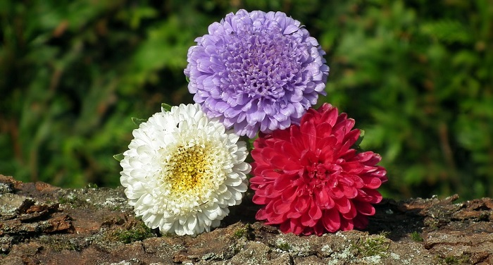 Aster Flower Meaning Symbolism And Colors