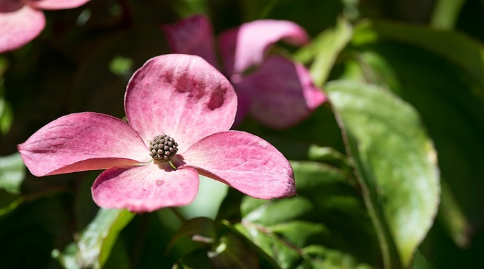 Dogwood Flower Meaning Symbolism And Colors