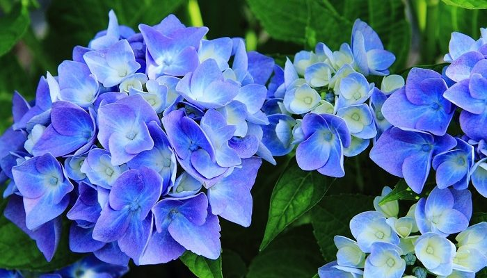 Hydrangea Flower Meaning Symbolism And Colors
