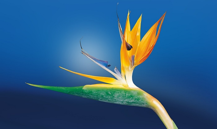 Bird Of Paradise Flower Meaning Symbolism And Colors