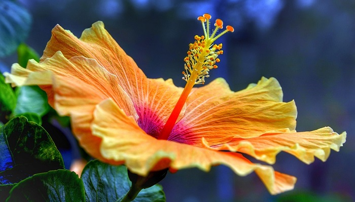 Hibiscus Flower Meaning Symbolism And Colors