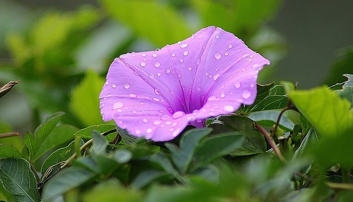 Morning Glory Flower Meaning Symbolism And Colors