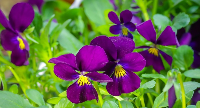 Pansy Flower – Meaning, Symbolism and Colors