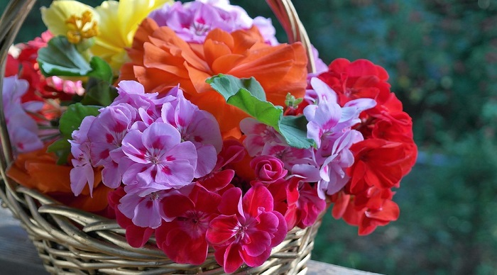 Petunia Flower Meaning Symbolism And Colors