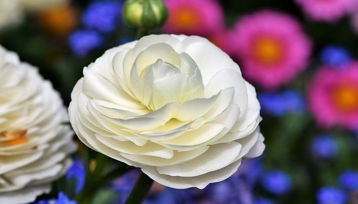 Ranunculus flower meaning symbolism and colors mightylinksfo