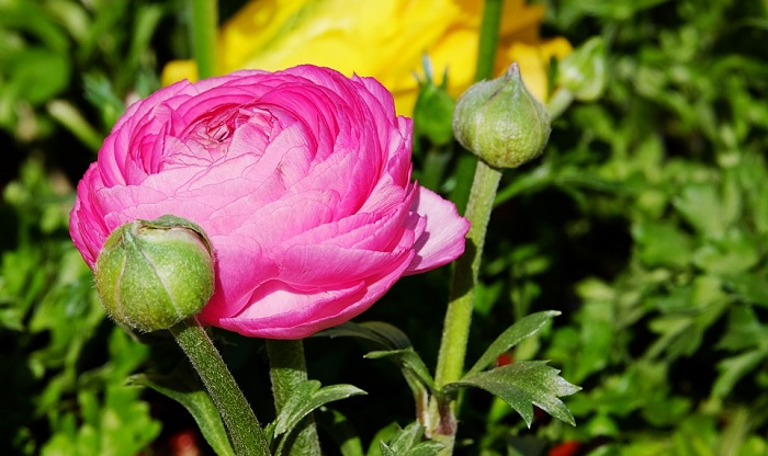 Ranunculus Flower Meaning Symbolism And Colors
