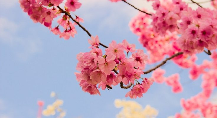Sakura Flower Meaning Symbolism And Colors