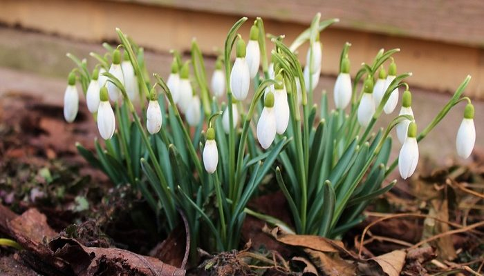 Snowdrop-Flower-Meaning-Symbolism-and-Co