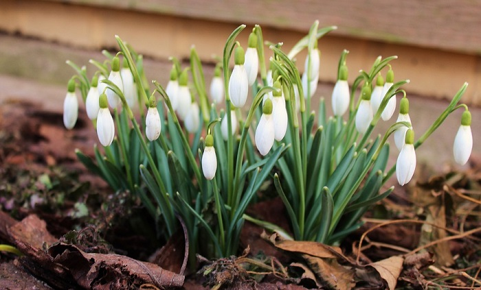 Snowdrop Flower Meaning Symbolism And Colors