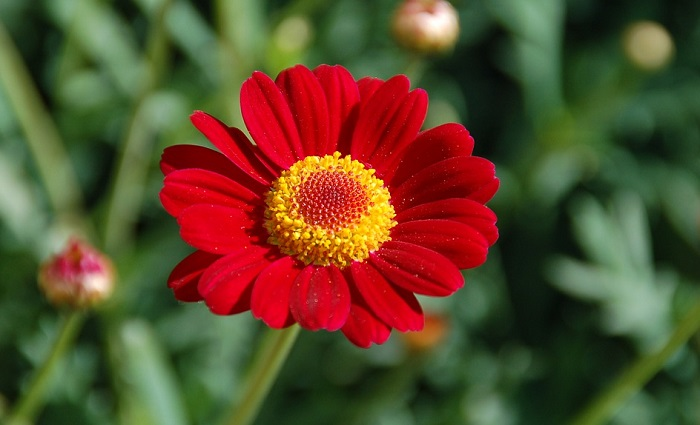 Zinnia Flower Meaning Symbolism And Colors