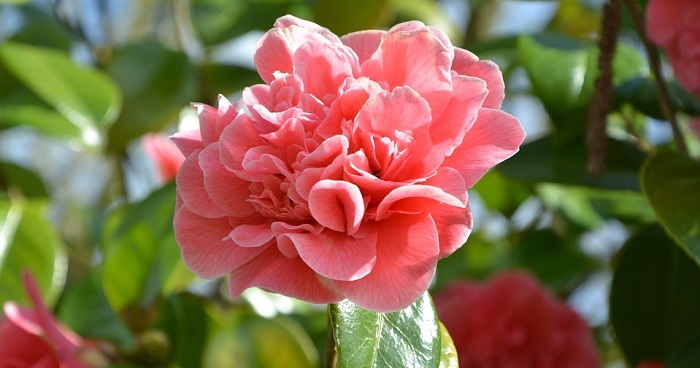 Camellia Flower Meaning Symbolism And Colors