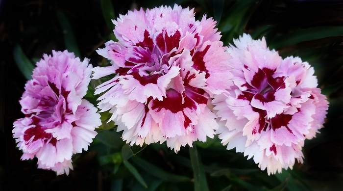 Carnation Flower Meaning Symbolism And Colors
