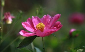 Anemone flower meaning symbolism and colors chinese flowers meaning symbolism and colors mightylinksfo