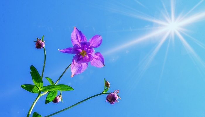 Columbine Flower – Meaning, Symbolism and Colors