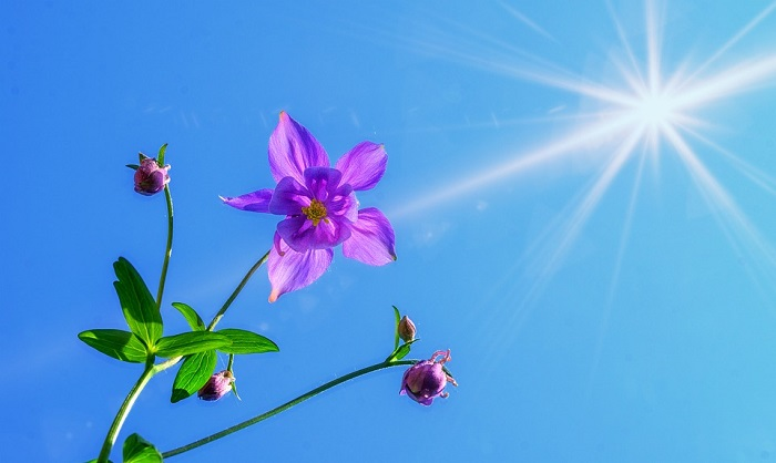 Columbine Flower Meaning Symbolism And Colors