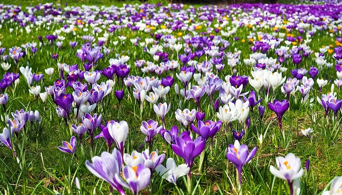 Crocus Flower Meaning Symbolism And Colors