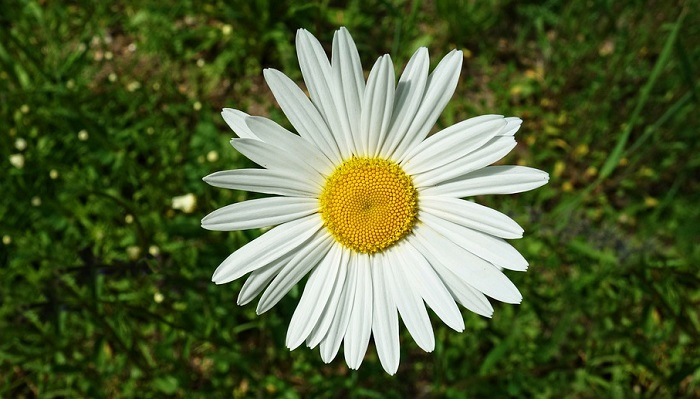 Daisy Flower Meaning Symbolism And Colors