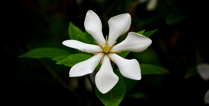 Gardenia Flower – Meaning, Symbolism and Colors