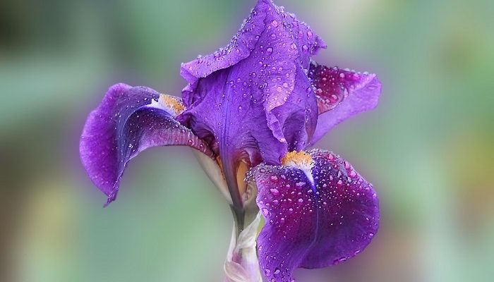 Iris Flower Meaning Symbolism And Colors
