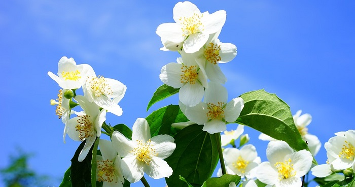 Jasmine Flower Meaning Symbolism And Colors