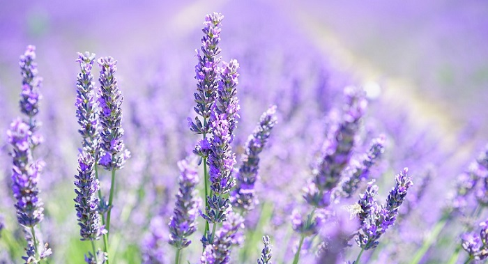 Lavender Flower Meaning Symbolism And Colors