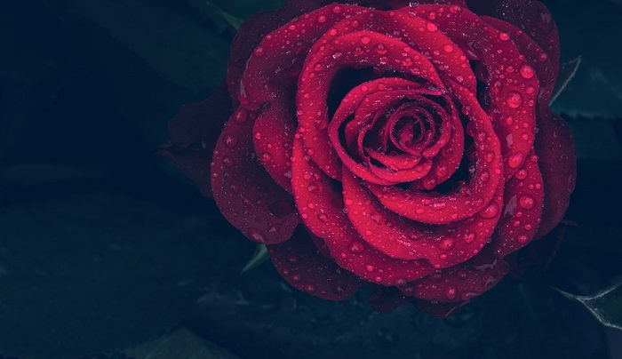 Single Red Rose – Meaning and Symbolism