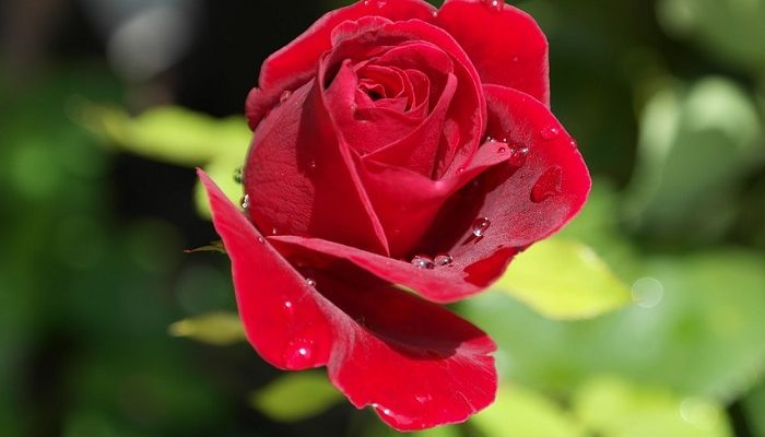 Single Red Rose Meaning And Symbolism
