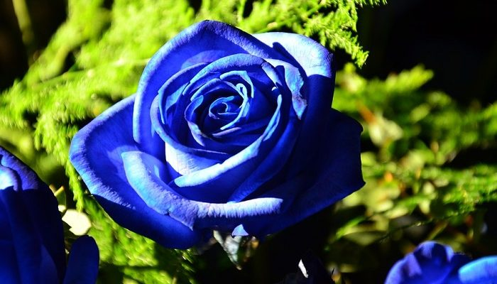 Blue Rose Meaning And Symbolism