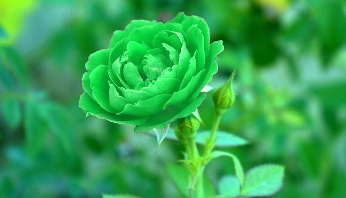 Image result for image of green roses