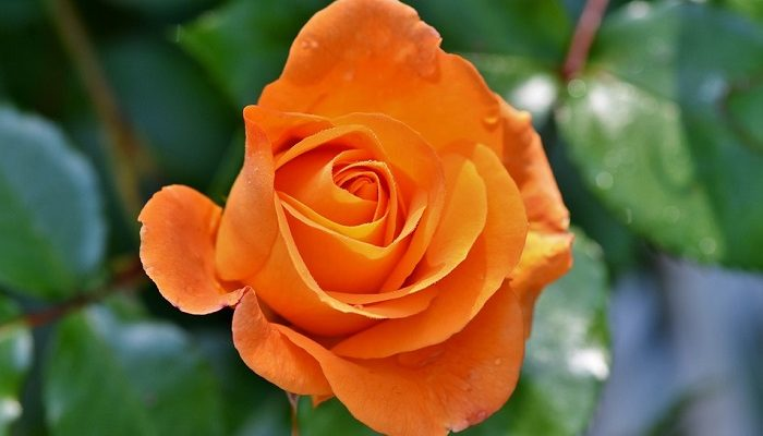 Orange Roses Meaning And Symbolism