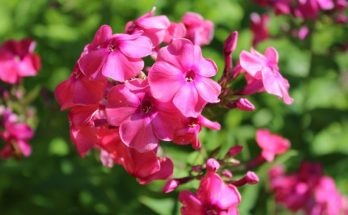 Sweet Pea Flower – Meaning, Symbolism and Colors